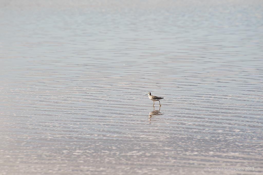 _DSC3726yellowlegs_1024