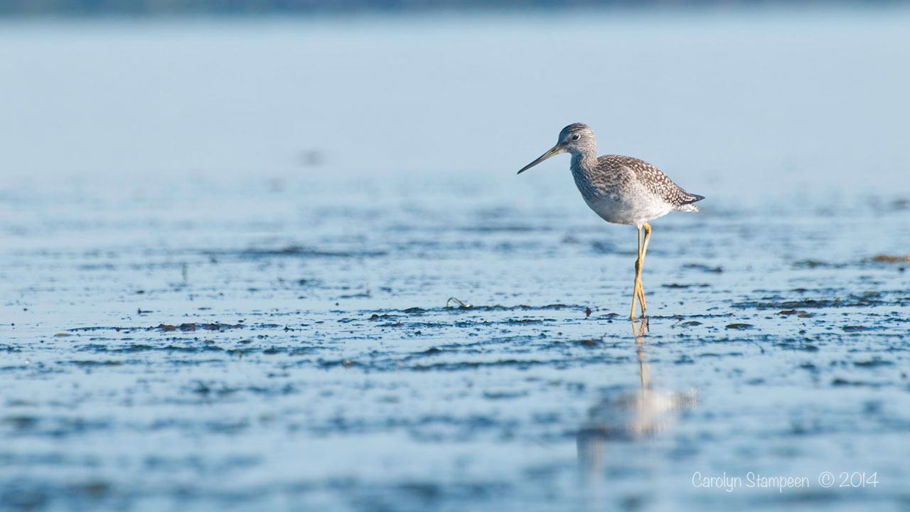 YellowLegs8404_720
