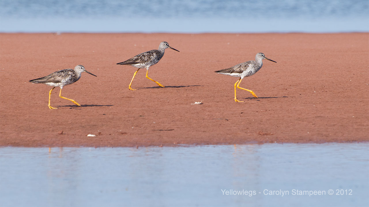 yellowlegs1776_1280