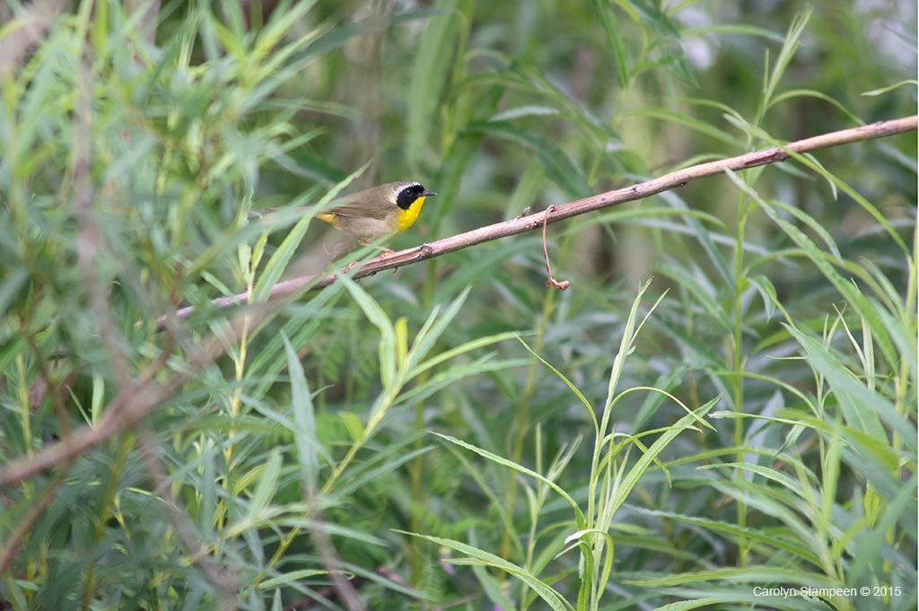 _DSC4995yellowthroat_1024